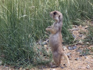 shot, white tailed, prairie, dog, cynomys, leucurus, standing, hind legs