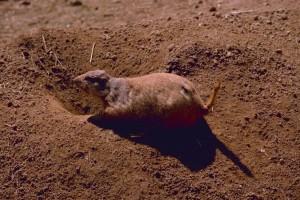 black, tailed, prairie, dog, ground