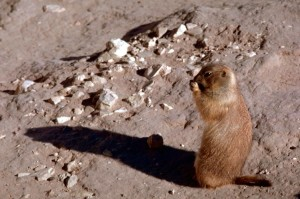 black, tailed, prairie, dog, standing, food, hand