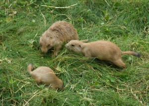 prairie, dog, animals