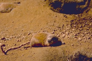 prairie, dog, sand