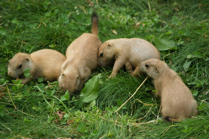 prairie, dog, pups