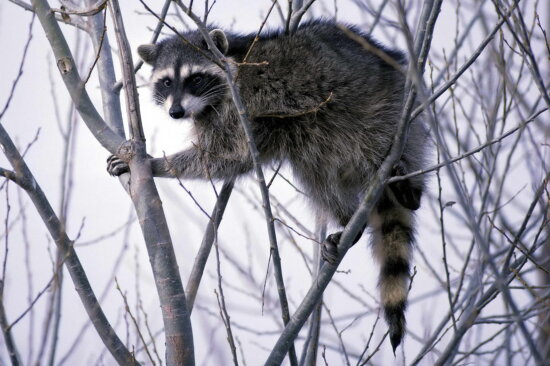procyon, lotor, raccoon