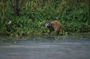 raccoon, animal, mammal, procyon, lotor