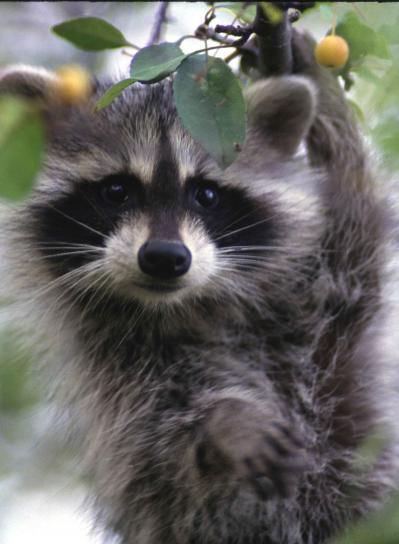 raccoon, face, up-close, procyon, lotor