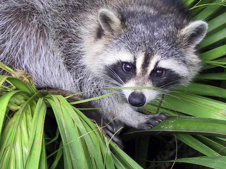 raccoon, procyon, lotor