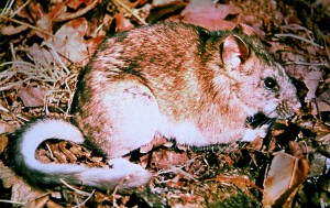 touffue, queue, WoodRat, Neotoma, cinerea