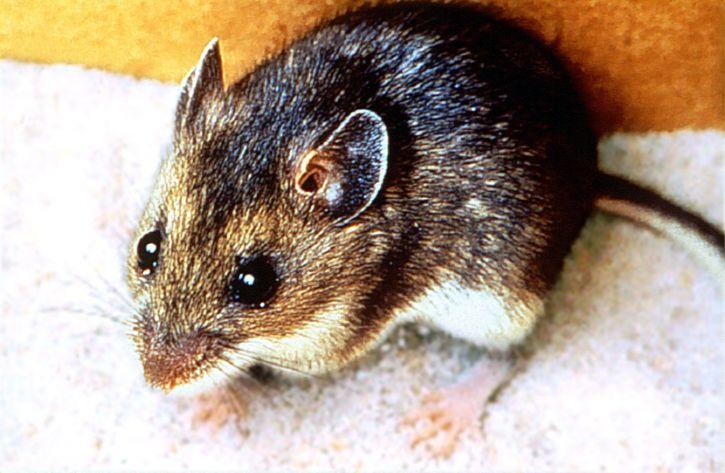 up-close, photo, deer, mouse, animal, mammal, peromyscus maniculatus