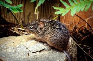 Baumwolle, Ratte, Sigmodon, hispidus