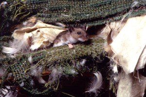 deer, mouse, peromyscus, maniculatus, deteriorating, sheets, fabric, bird, feathers
