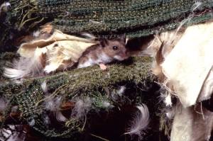 deer, mouse, peromyscus maniculatus, deteriorating, sheets, fabric, bird, feathers