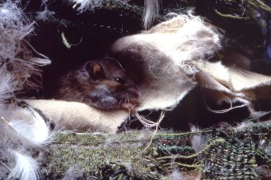 deer, mouse, peromyscus maniculatus, sheets, fabric, feathers