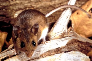 hjort, mus, peromyscus maniculatus, reservoaret, senderen, hantavirus