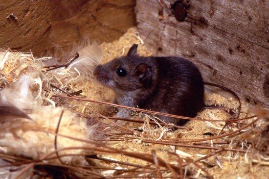 deer, mouse, peromyscus maniculatus, crouched, sawdust, pine, needle, bird, feather, habitat