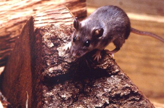 deer, mouse, peromyscus maniculatus, piece, chopped, hardwood
