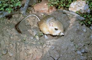 kangeroo, rat, animal, dipodomys, ingens