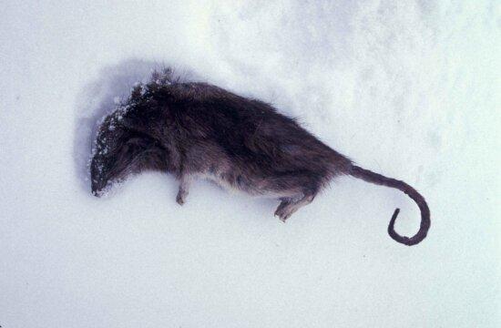 norway, rat, dead, snow