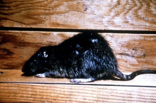 norway, rat, rattus norvegicus, brown, rat, house, rat, sewer, rat