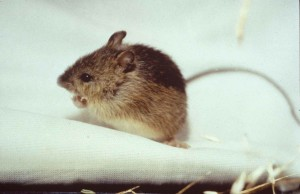 prebles, prairie, sauter, souris, endengered, mammifère, Zapus, hudsonius, preblei