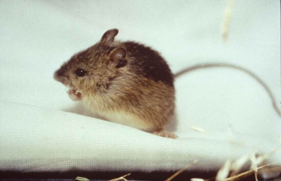 prebles, meadow, jumping, mouse, endengered, mammal, zapus hudsonius preblei