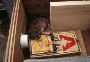 rata, atrapado, rata, la captura