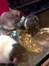 ratas, diferentes coloraciones, la cría selectiva