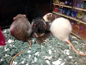 Rattus norvegicus, ratas, animales