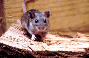 rodent, deer, mouse, peromyscus, maniculatus