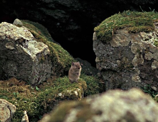 singing, vole, animal, microtus, miurus