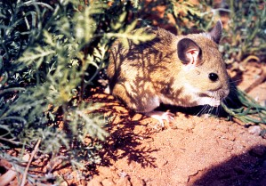weiß, throated, Woodrat, Neotoma, albigula