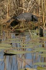 aligator, animal, alligator, mississippiensis