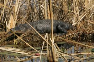 alligator, alligator, mississippiensis, sunning, itself
