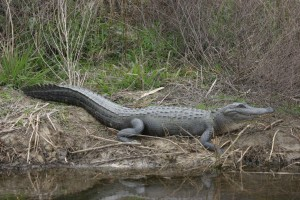 Alligator, dyr, dammen