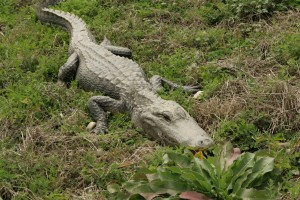 alligator, appears, sleeping