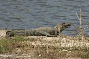 alligator, mississippiensis, aligator, animal