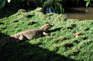 alligator, lake
