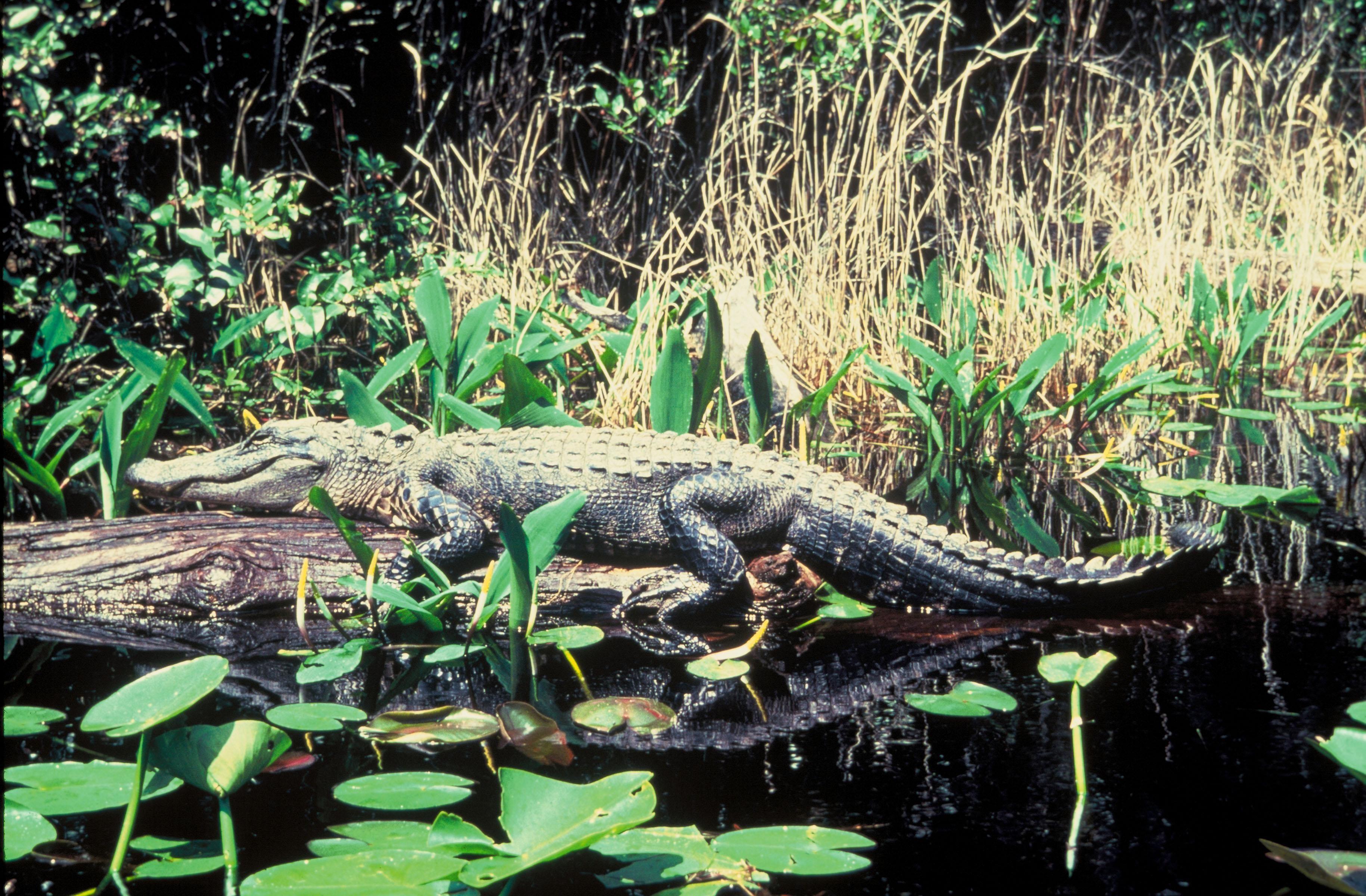 Free picture: alligator, reptile  Free picture: a...