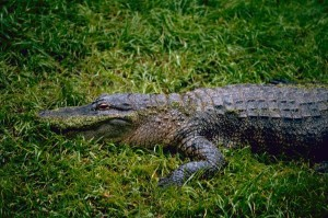 Américain, alligator