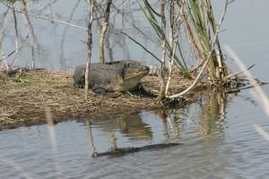 Américain, alligator, peu, île