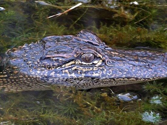 alligator, Louisiana