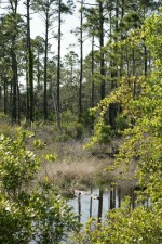 alligator, forest