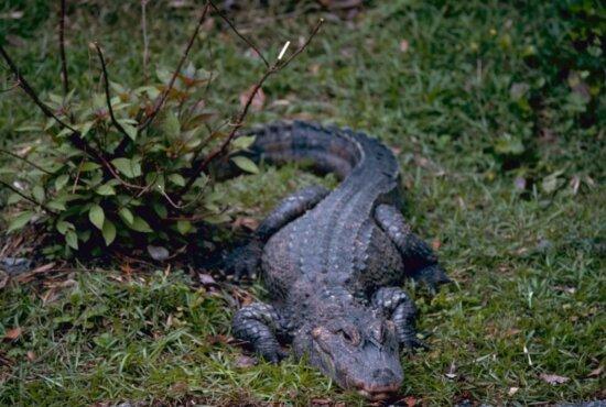 Chinese, alligator