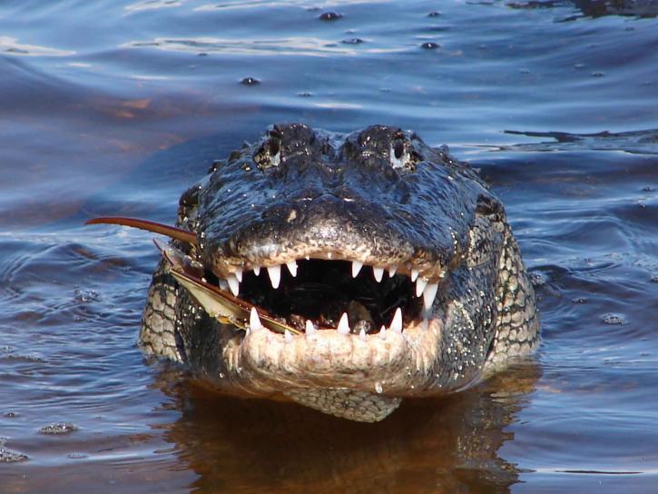 up-close, front, adult, alligator, reptile, alligator, mississippiensis