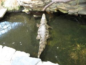 krokodille, sø