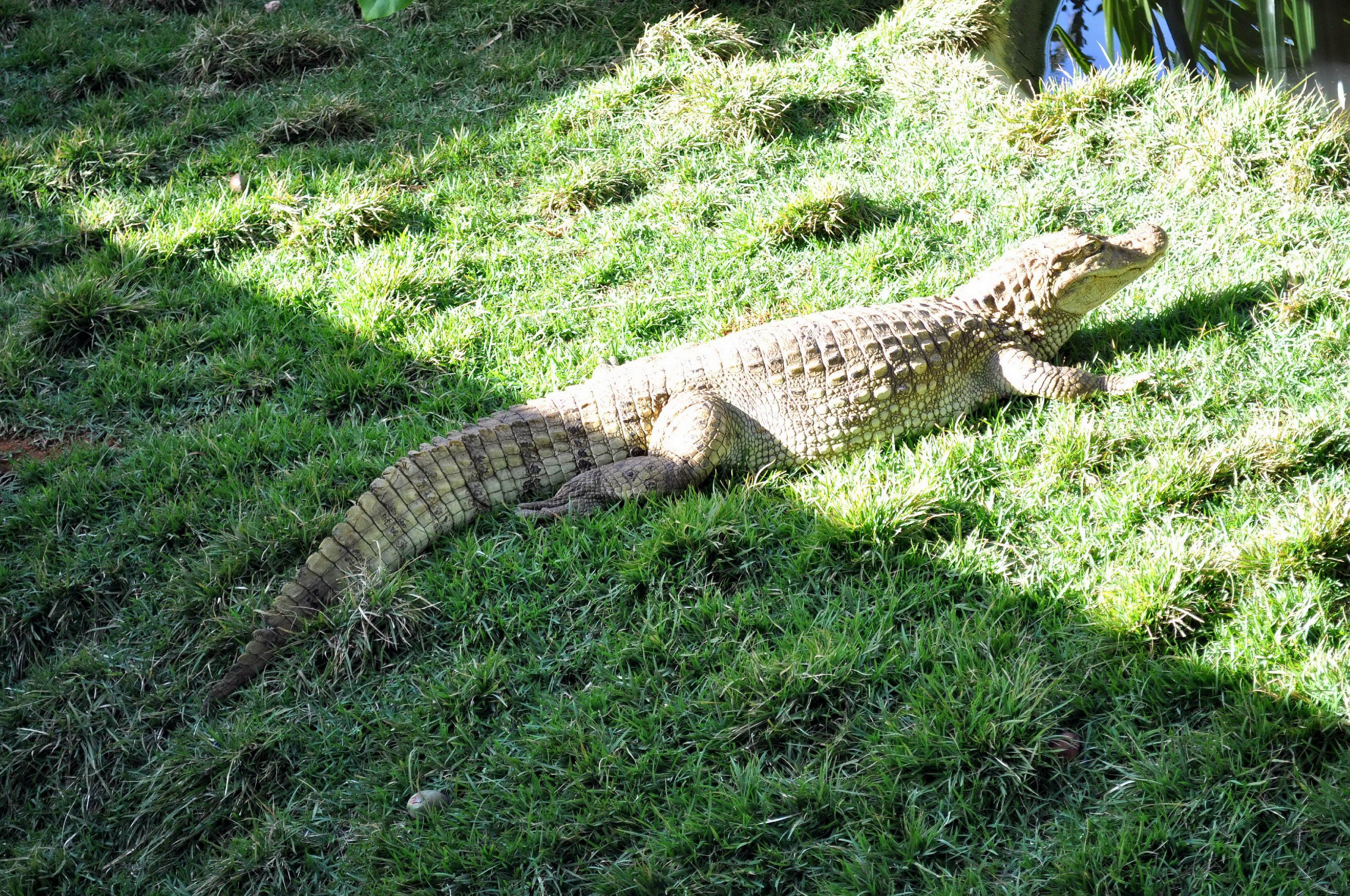 Free photograph; gator, sunning, lake