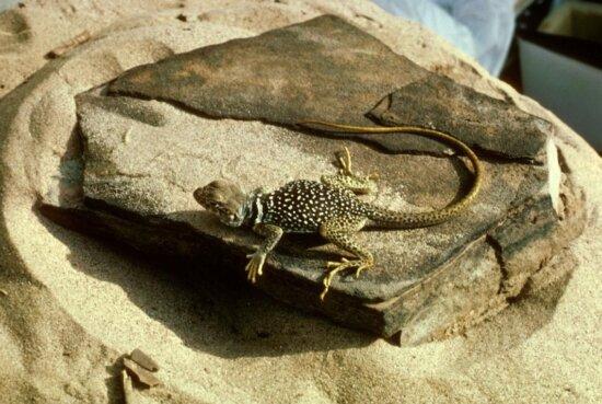 crotaphytus collaris, reptile