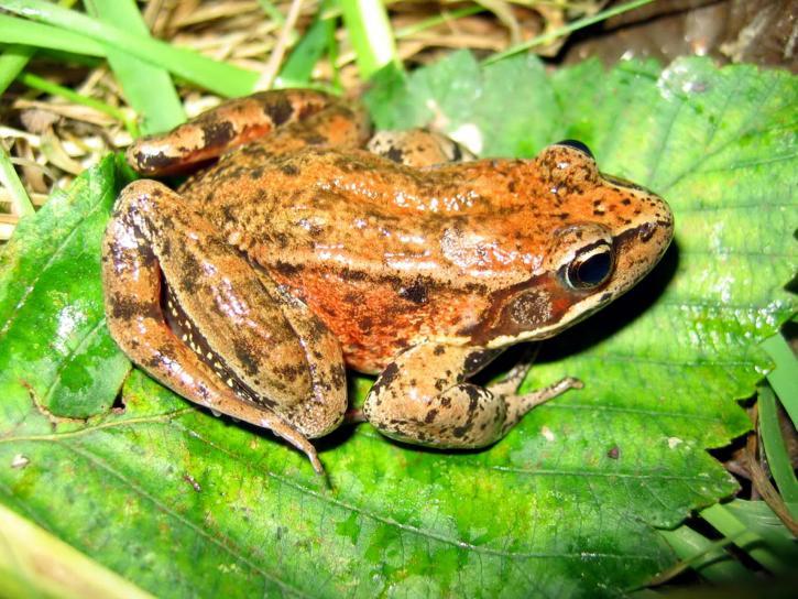 adult, northern red, legged, frog, bright green leaf, rana aurora