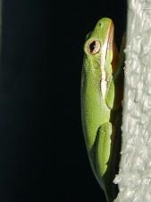 amphibian, frog, green, frog, wall
