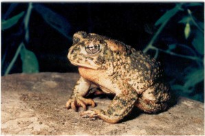 bufo californicus, frog