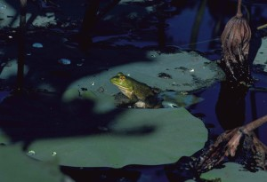 bullfrog, lilypad, frog, lilypad